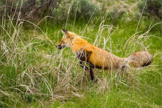 Yellowstone Red Fox - © Christopher Martin-9833