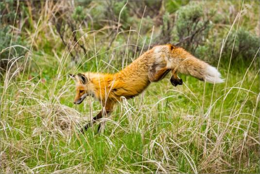 Yellowstone Red Fox - © Christopher Martin-9834