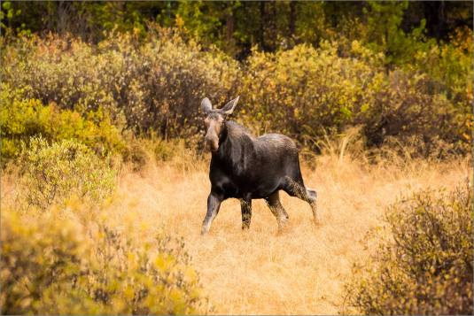 autumn-moose-in-the-banff-national-park-christopher-martin-4081