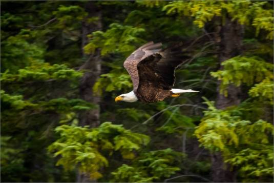 eagles-in-flight-over-the-lorette-ponds-christopher-martin-2973