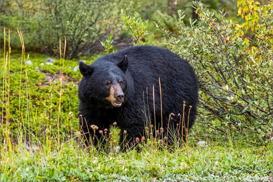 jasper-black-bear-in-the-bushes-christopher-martin-3628