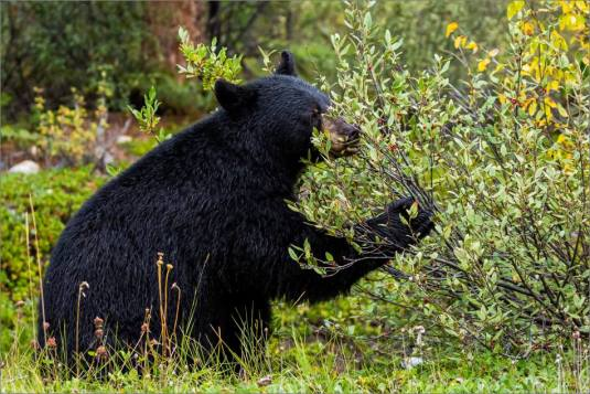 jasper-black-bear-in-the-bushes-christopher-martin-3636
