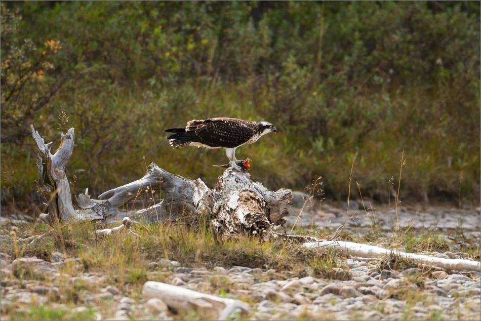 ospreys-fighting-over-a-fish-christopher-martin-0279