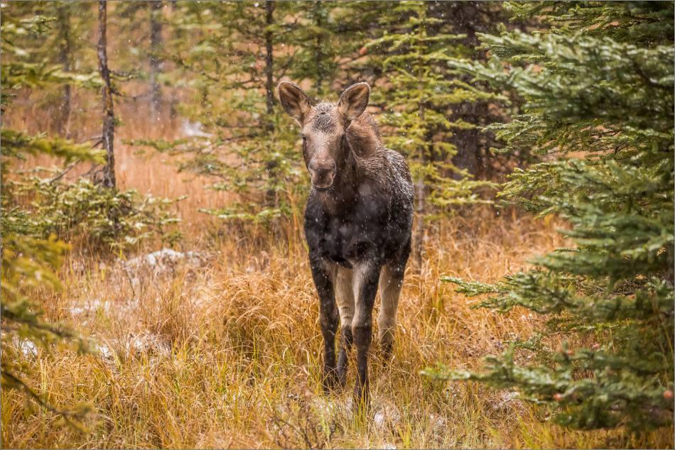 kananaskis-moose-christopher-martin-9390