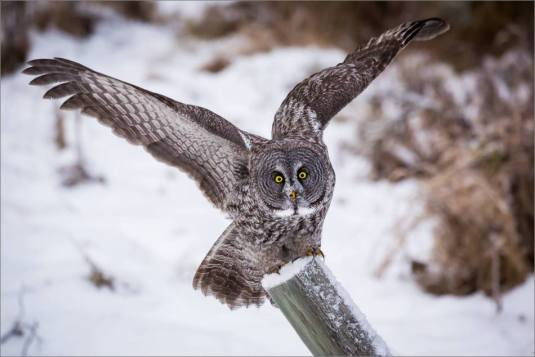 a-great-gray-owl-in-bragg-creek-christopher-martin-2679