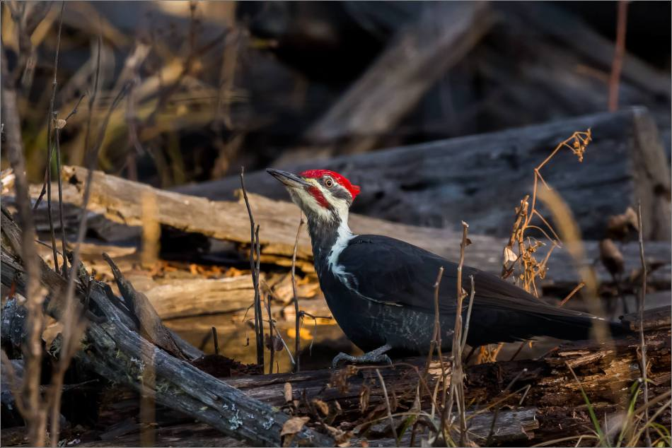 pileated-woodpecker-christopher-martin-1505