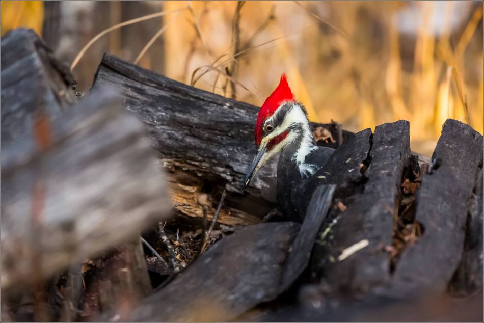 pileated-woodpecker-christopher-martin-1696