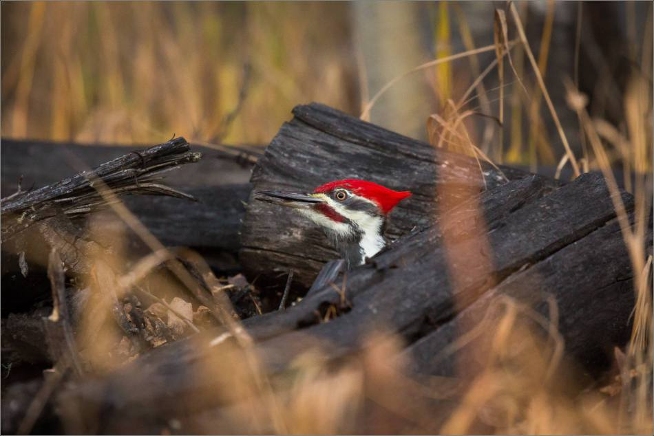 pileated-woodpecker-christopher-martin-1775