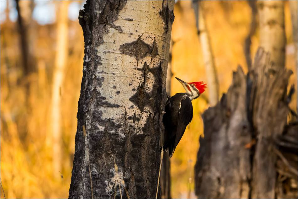 pileated-woodpecker-christopher-martin-1832
