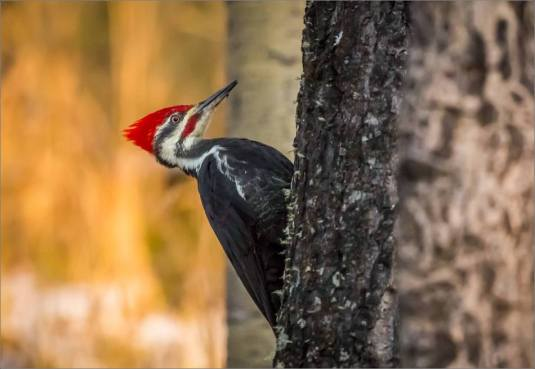 pileated-woodpecker-christopher-martin-1963