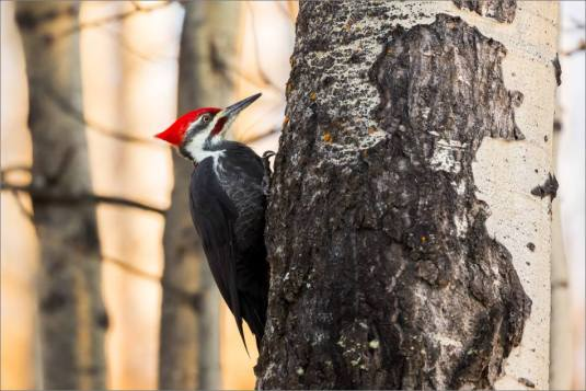 pileated-woodpecker-christopher-martin-1982