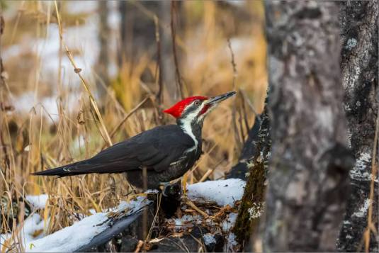 pileated-woodpecker-christopher-martin-2131