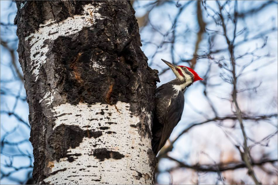 pileated-woodpecker-christopher-martin-2172