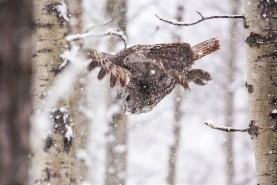 Great gray owl hunting in a snowstorm - © Christopher Martin-4914