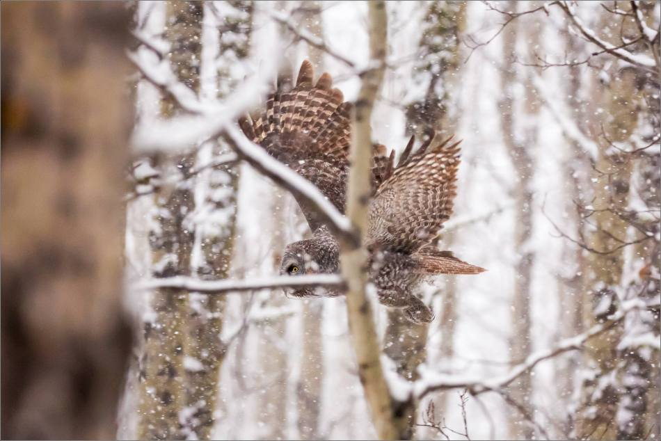 Great gray owl hunting in a snowstorm - © Christopher Martin-4972