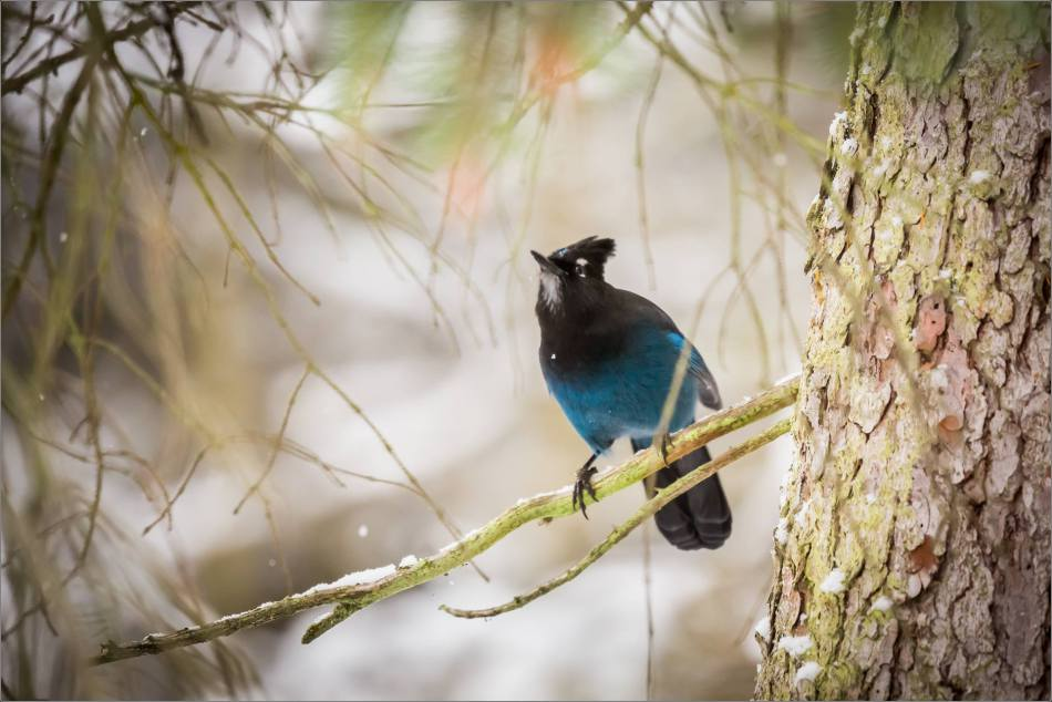 stellar-jay-in-lake-louise-christopher-martin-3924