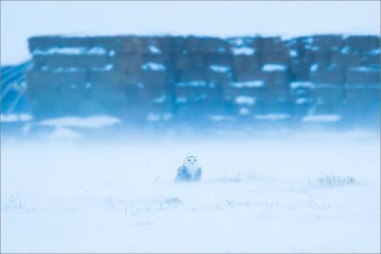 overcast-snowy-owl-flight-christopher-martin-7649