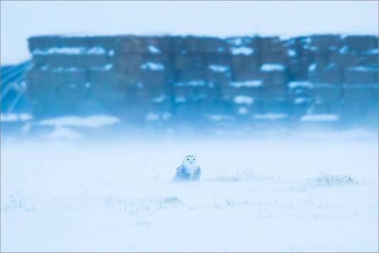 overcast-snowy-owl-flight-christopher-martin-7649
