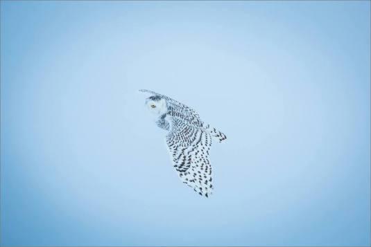 overcast-snowy-owl-flight-christopher-martin-7694