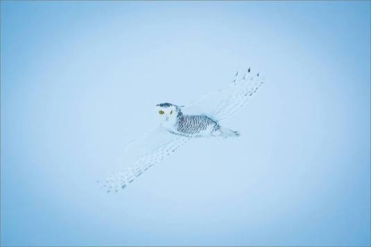 overcast-snowy-owl-flight-christopher-martin-7702