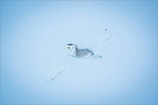 overcast-snowy-owl-flight-christopher-martin-7702