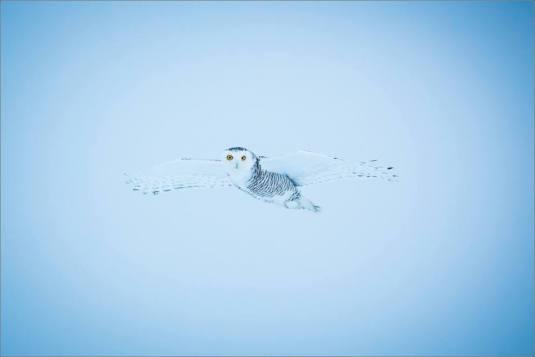 overcast-snowy-owl-flight-christopher-martin-7708