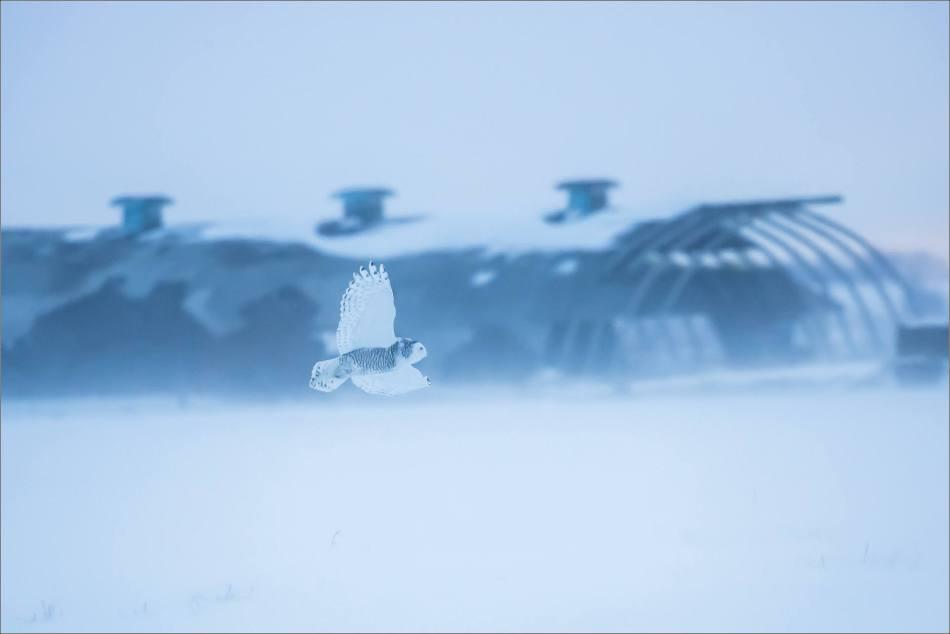 overcast-snowy-owl-flight-christopher-martin-7734