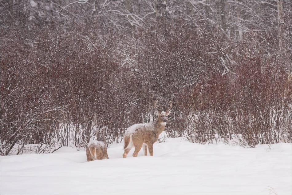 blizzard-chickadee-in-bragg-creek-christopher-martin-2681