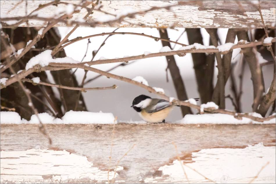 blizzard-chickadee-in-bragg-creek-christopher-martin-2738