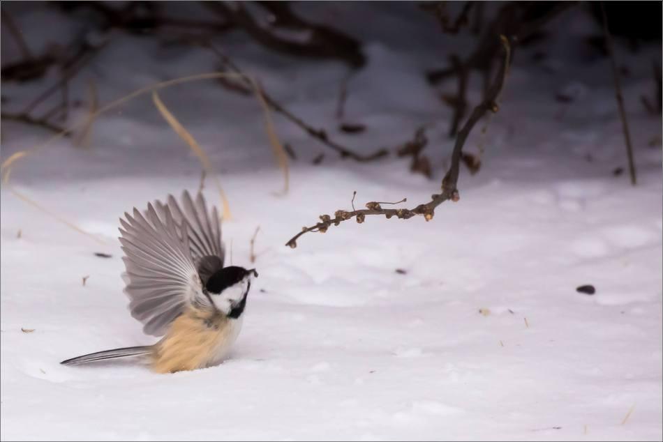 blizzard-chickadee-in-bragg-creek-christopher-martin-2803