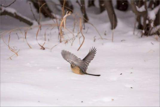 blizzard-chickadee-in-bragg-creek-christopher-martin-2810