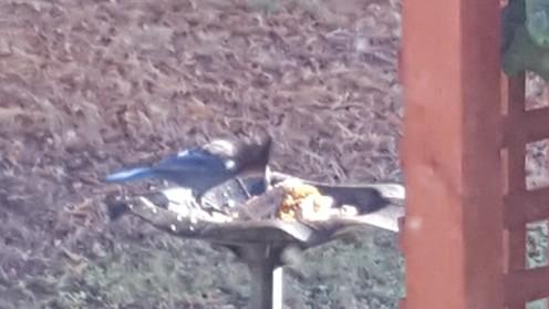 bluejay feeding