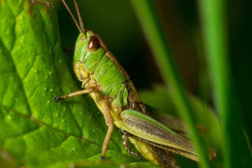 grasshopper-nature-macro-detail-55739.jpeg