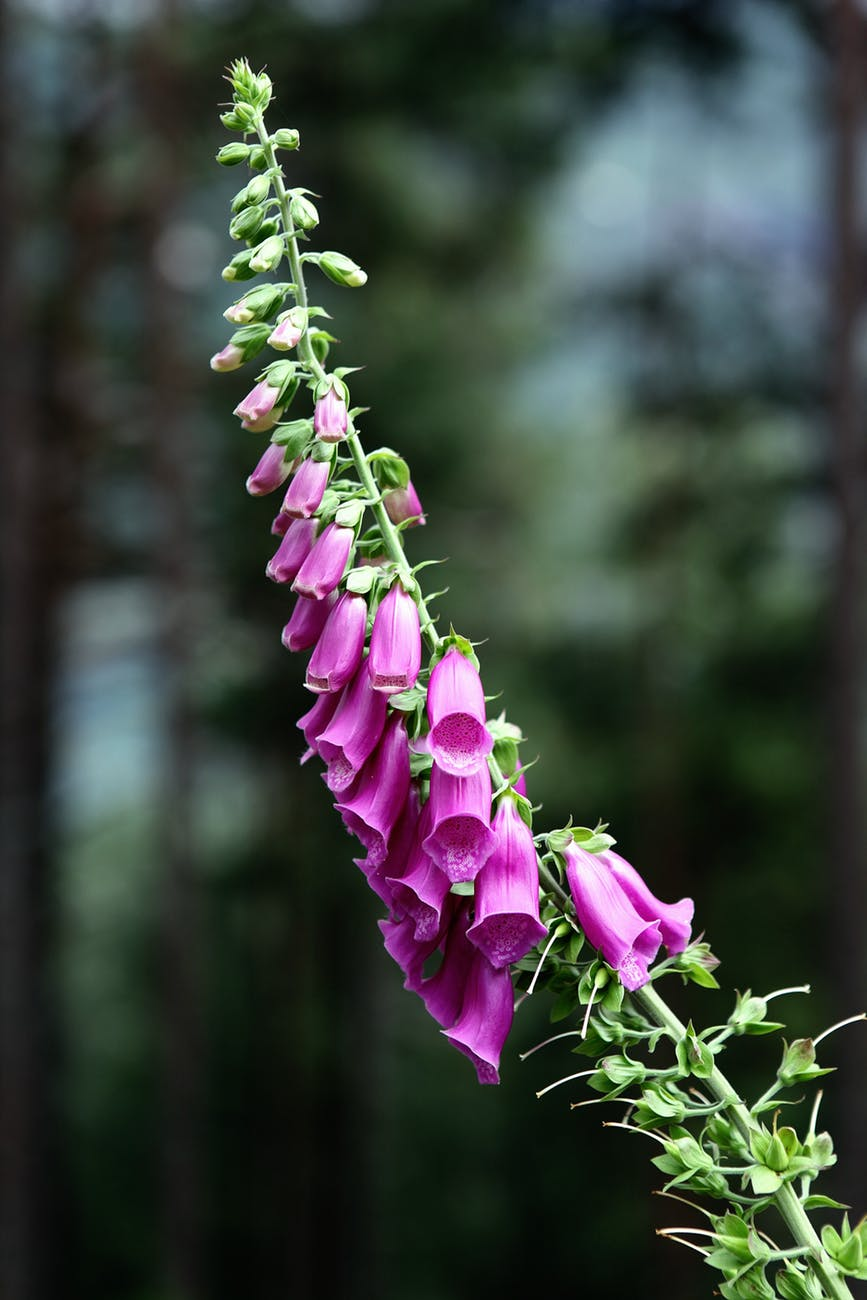 common-foxglove-flower-digitalis-purpurea-blossom-70340.jpeg