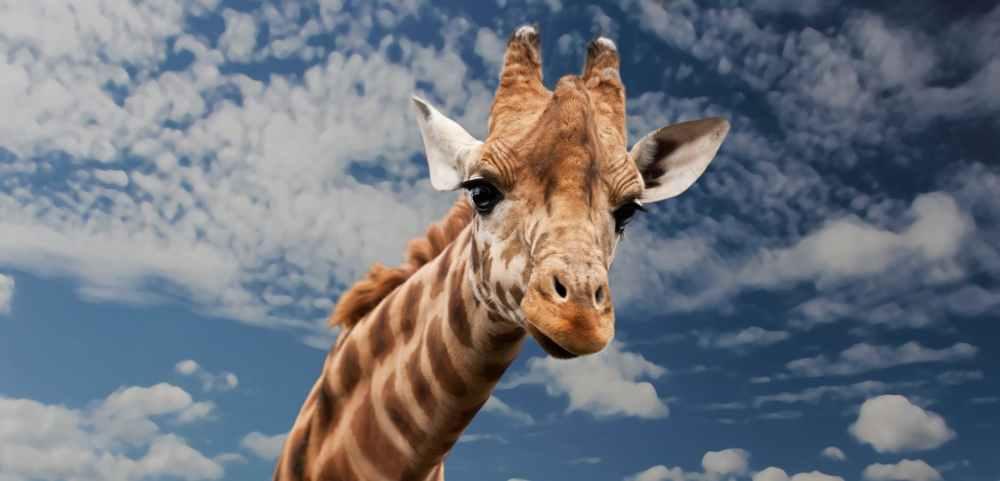 brown beige and white giraffe under white clouds