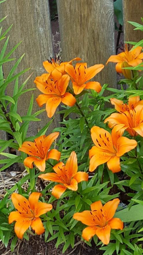 20190621_101340 (1) tiger lilies
