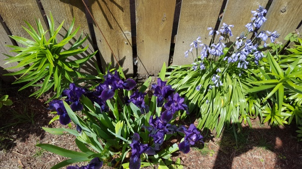20180424_124842 iris and bluebell