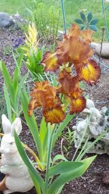 20200510_102054 bronze iris